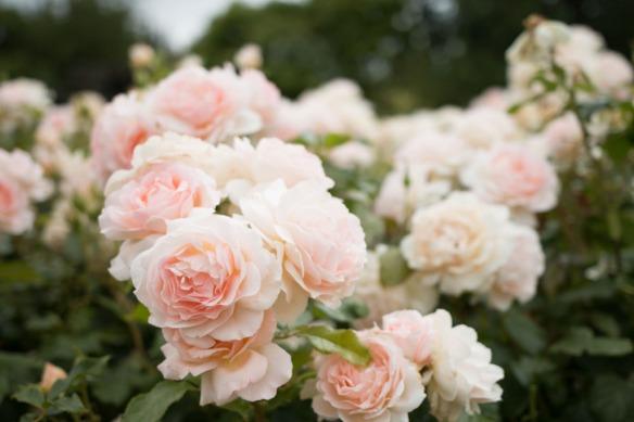 20150628_Regents_Park_Rose_Garden_0071